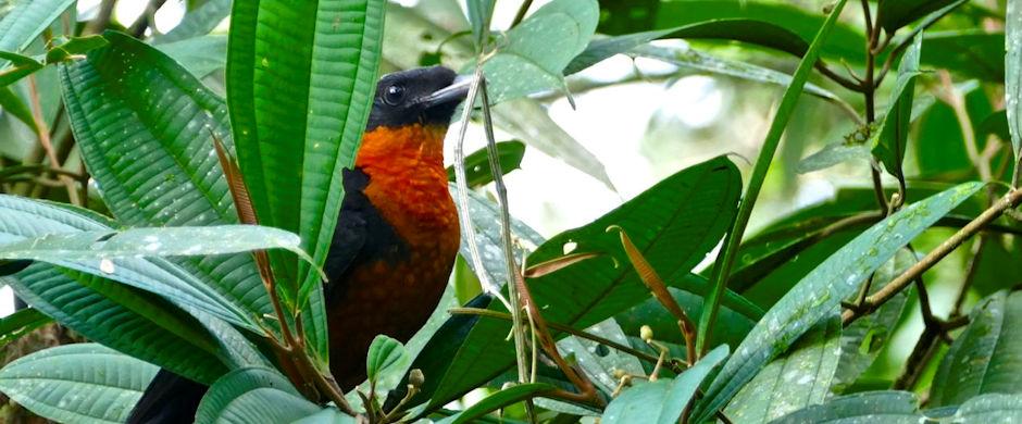 red throated bird